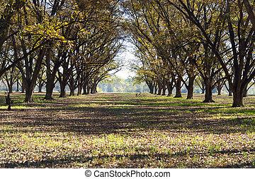 paisagem, pecan, bosque, fila