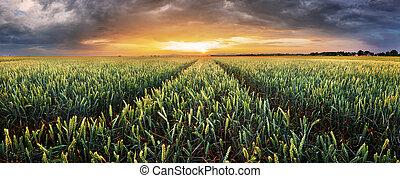 paisaje, con, campo de trigo, agricultura, -, panorama
