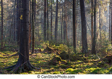 paisaje, estante, natural, conífero, reserva