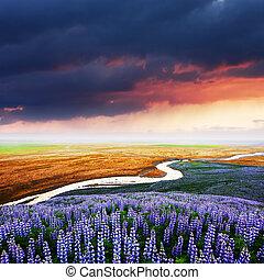 paisaje, islandia, lupino