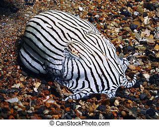 Pajama Squid  Underwater Photo