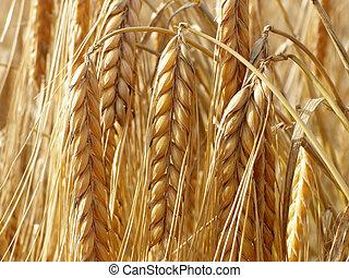pajas, trigo