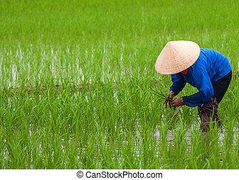 palántázás, vietnam:, rice.