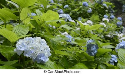 Pale blue hydrangea flower field in rain