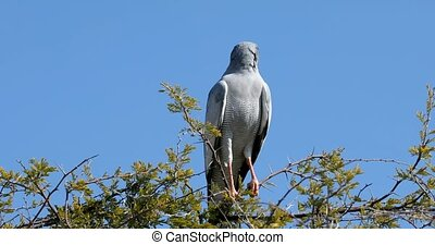 Bird of prey, Pale chanting goshawk bird perched on prickly acacia branch in Etosha, Namibia, Africa