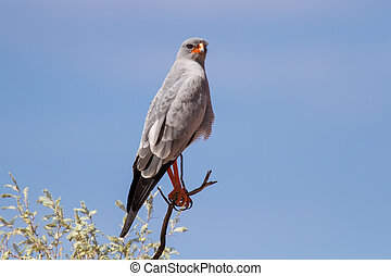 Pale chanting goshawk sitting on a branch in sun