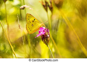 pale clouded yellow on a pink