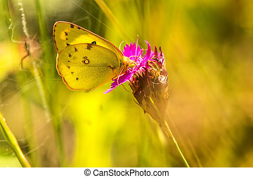 pale clouded yellow on a pink neat a trap of a wasp spider