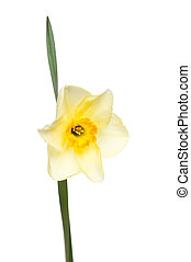 Pale Daffodil and leaf