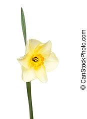 Pale Daffodil and leaf