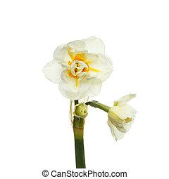 Pale daffodil