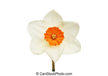 Pale daffodil with orange center