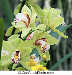 Pale green cymbidium Orchid