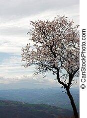 Pale pink almond bloom