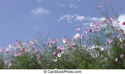 Pale pink and white cosmos - Look up lined pale pink and...