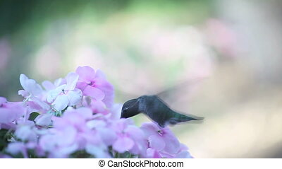 pale pink impatiens and hummingbird