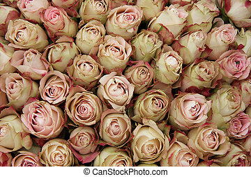 Pale pink rose buds