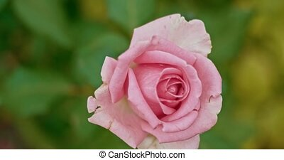 Pale pink rose in autumn garden shuttering on the wind,...