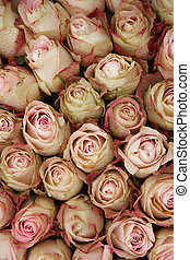 Pale pink roses