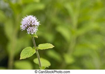 Pale purple mint flower