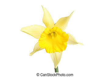 Pale yellow daffodil