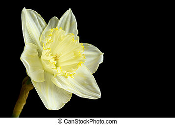 Pale yellow daffodil on black