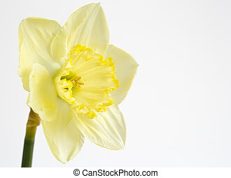 Pale yellow daffodil on white