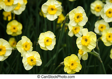 Pale yellow daffodils