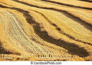 palha, colhido, linhas, campo