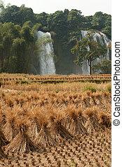 palha, em, campo arroz, frente, de, proibição, gioc,...