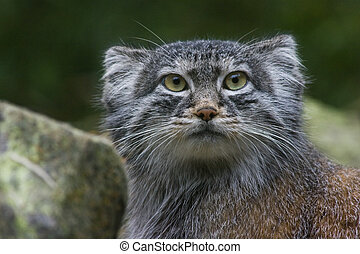 Pallas cat or Manul - Solitair living undomesticated small...