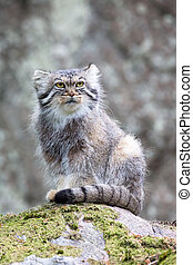 Pallas cat watching out - Pallas cat, or manul, lives in the...