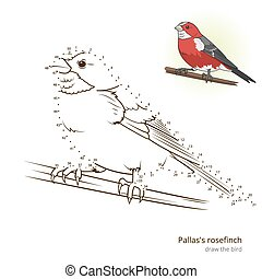Pallas rosefinch bird learn to draw vector - Pallas...