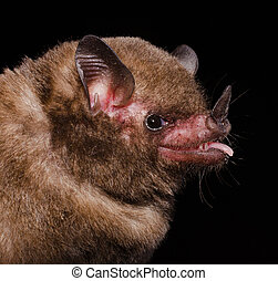pallas's, long-tongued, bat.