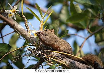 Pallas's squirrel or Red-bellied squirrel ( Callosciurus...
