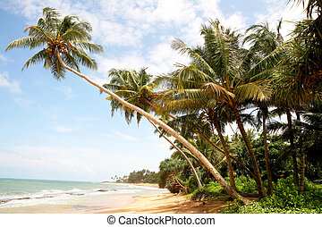 palm beach - Coconut palms on Sri Lanka beach