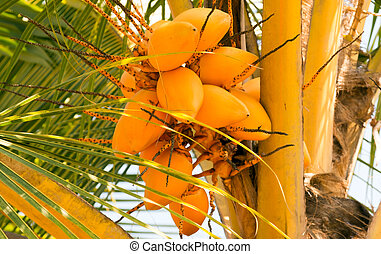 Palm coco King coconut bunches - Coconut Palm tree with ...