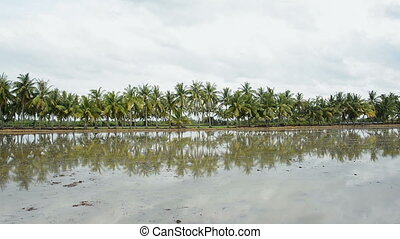 Palm coconut tree - Tranquil idyllic scene of palm coconut...