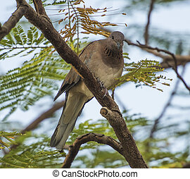 Palm dove perched in a tree