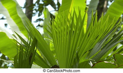 Palm Foliage, Tropical Rainforest, Costa Rica - Close-up low...