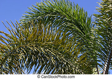 Palm Fronds 2 - Pretty palm fronds against a blue sky...