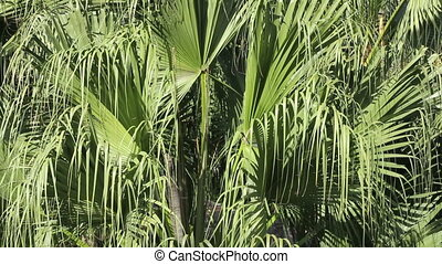 Palm Fronds Blowing in the Wind Close-Up - Sunny palm fronds...