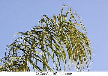 Palm fronds blue sky - The green of palm fronds against a...
