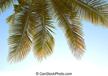Palm fronds - Hanging coconut palm fronds from Thailand