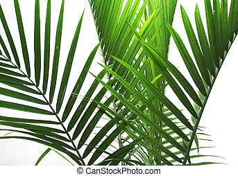Palm Fronds on white background