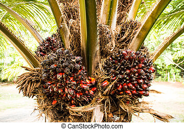 Palm fruit on tree