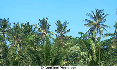 Palm grove on a background of blue sky. Focus on the foreground