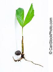 palm, jonge, kiemplant