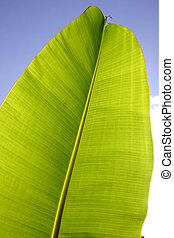 Palm Leaf - Banana leaf against blue sky