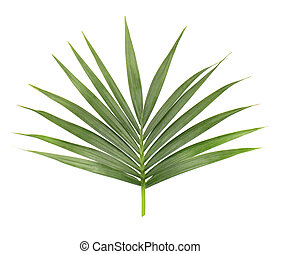 Palm leaf isolated on white background. Closeup of a branch...